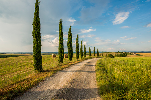 Italian Cypress「Cypress trees along the road in Tuscany」:スマホ壁紙(0)
