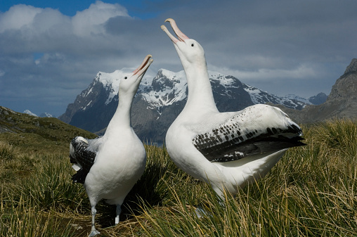 Atlantic Islands「Wandering Albatross (Diomedea exulans) displaying to each other」:スマホ壁紙(13)
