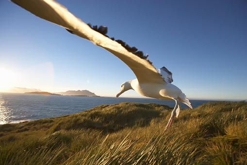 Southern Atlantic Islands「Wandering Albatross on South Georgia Island」:スマホ壁紙(19)