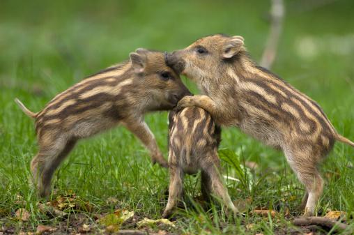 猪「Three young wild boars (Sus scorfa)」:スマホ壁紙(14)