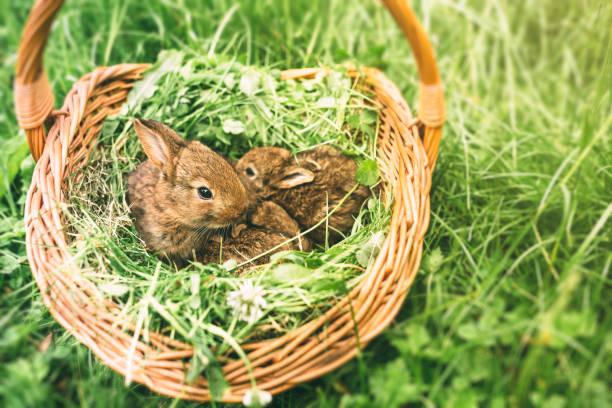 Three young rabbits in a basket:スマホ壁紙(壁紙.com)