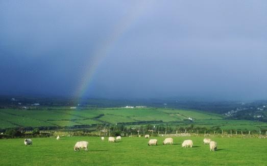 虹「Sheep in a field with rainbow, Ireland」:スマホ壁紙(8)