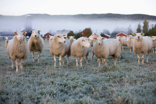 Flock Of Sheep「Sheep in a field on an icy morning」:スマホ壁紙(5)