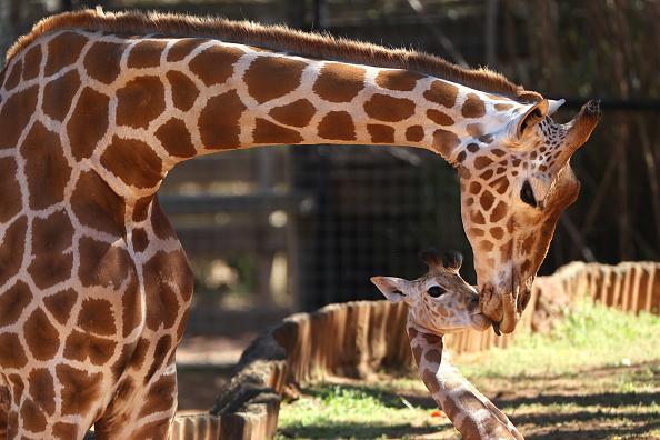 Topix「New Giraffe Calf Makes Public Debut At Perth Zoo」:写真・画像(19)[壁紙.com]