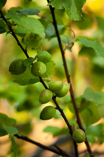 Apricot Tree「Green Apricot Fruits Growing on an Orchard Tree」:スマホ壁紙(17)