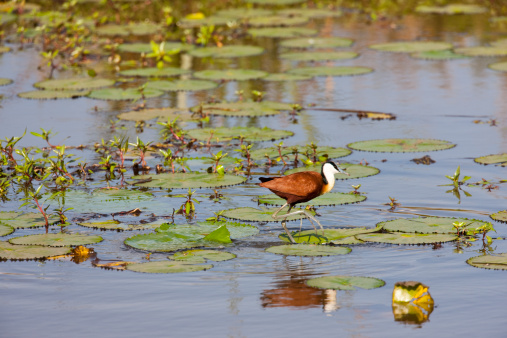 Water Lily「African Jacana walking on lily pads」:スマホ壁紙(12)