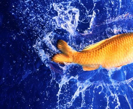 Carp「Carp tail splashing water, blue background」:スマホ壁紙(14)