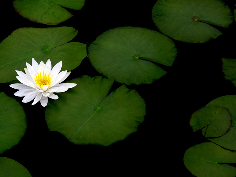 Water Lily「Lily pads and flower on a lake」:スマホ壁紙(17)