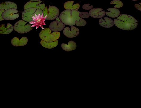 Water Lily「lily pads and flower on black background」:スマホ壁紙(1)