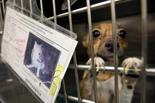 Animal Themes「Chihuahuas Overwhelm California Animal Shelters」:写真・画像(1)[壁紙.com]