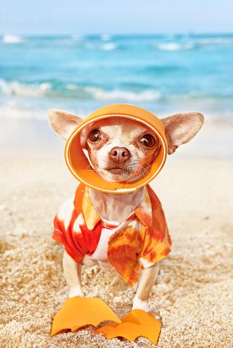 Chihuahua - Dog「Chihuahua wearing a Hawaiian shirt stood on a beach」:スマホ壁紙(10)
