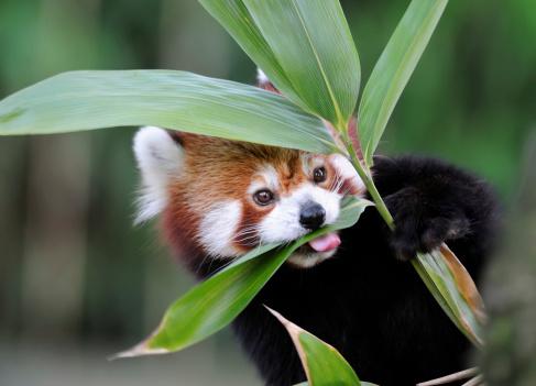 Panda「red panda」:スマホ壁紙(18)