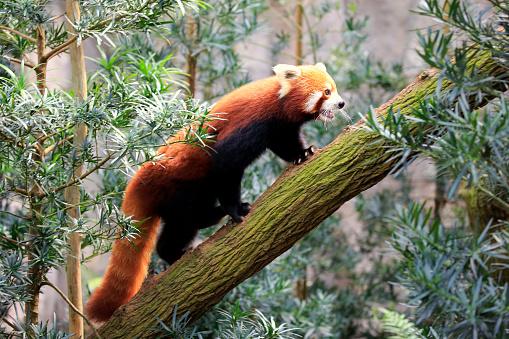パンダ「Red Panda, (Ailurus fulgens fulgens)」:スマホ壁紙(0)