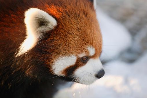 パンダ「Red panda」:スマホ壁紙(0)