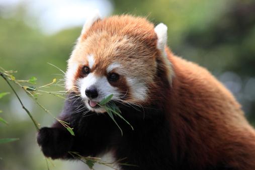 パンダ「Red Panda」:スマホ壁紙(10)