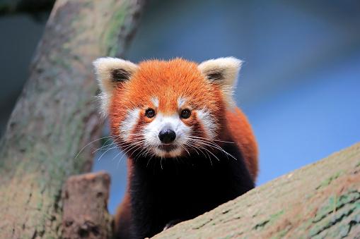 パンダ「Red Panda, (Ailurus fulgens fulgens)」:スマホ壁紙(2)