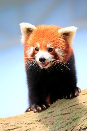 パンダ「Red Panda, (Ailurus fulgens fulgens)」:スマホ壁紙(10)