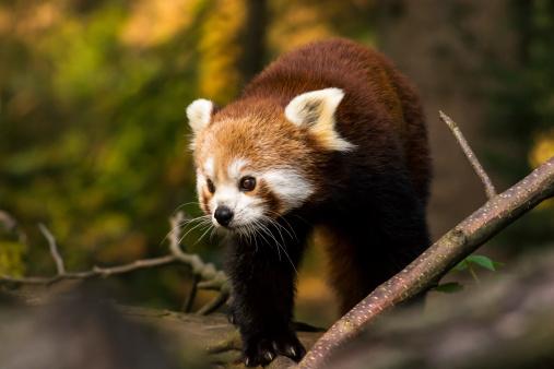 Nepal「Red panda」:スマホ壁紙(17)