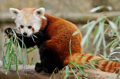 パンダ「Red panda (Ailurus fulgens)」:スマホ壁紙(6)