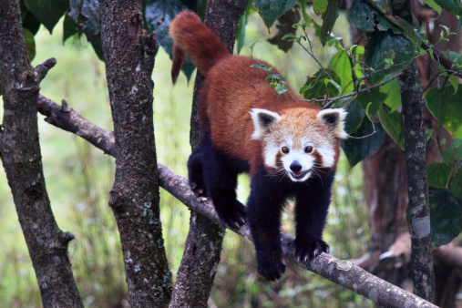 パンダ「Red Panda」:スマホ壁紙(9)