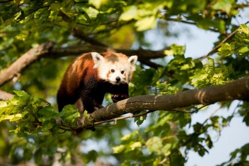 パンダ「Red Panda (Ailurus fulgens)」:スマホ壁紙(12)