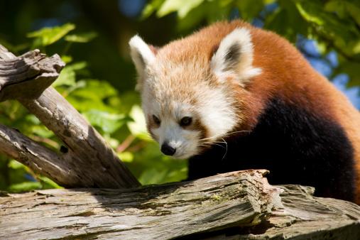 パンダ「Red Panda (Ailurus fulgens)」:スマホ壁紙(11)