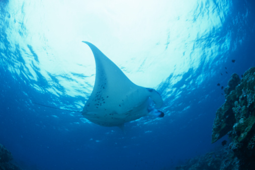 マンタ「Low angle view of a manta ray swimming underwater, Maldives」:スマホ壁紙(4)