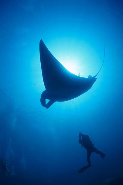 Low angle view of a manta ray swimming underwater, Maldives:スマホ壁紙(壁紙.com)
