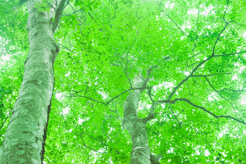 Spring Collection「Low Angle View Beech Tree Two Objects Spring」:スマホ壁紙(7)