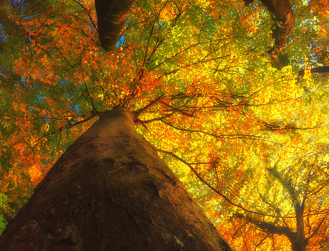 Single Tree「Low angle view of an autumn tree, Switzerland」:スマホ壁紙(6)