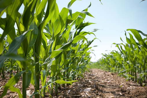 Crop - Plant「Low Angle View of a Row Of Young Corn Stalks」:スマホ壁紙(16)