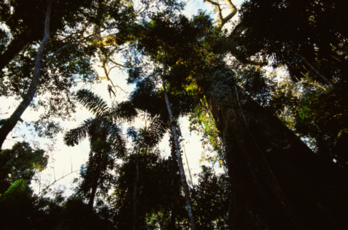 Amazon Rainforest「Low angle view of trees, Amazon Rainforest, Amazon, Peru」:スマホ壁紙(9)