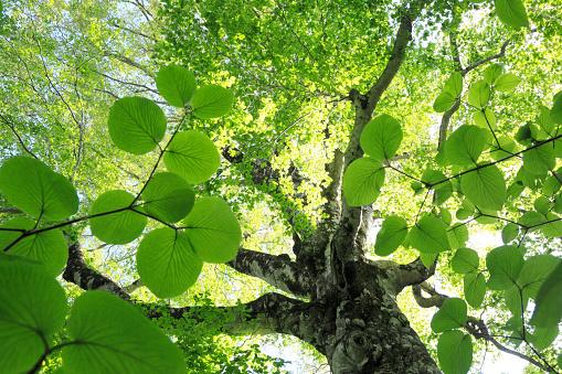 夏「Low Angle View of Old Beech Tree」:スマホ壁紙(17)