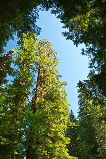 レーニア山国立公園「Low angle view of trees against sky, Grove of the Patriarchs Trail, Mount Rainier National Park, Washington State, USA」:スマホ壁紙(17)