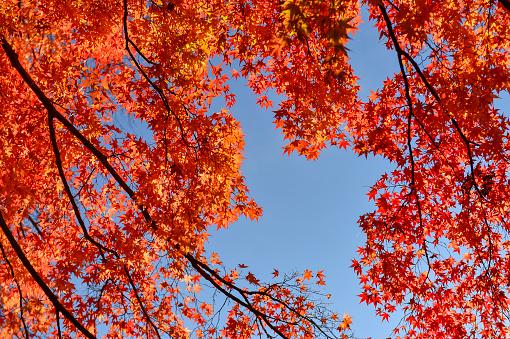 紅葉「Low angle view of a Japanese cherry tree, Japan」:スマホ壁紙(11)