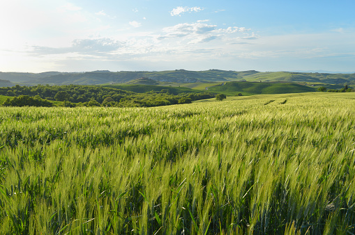 Agricultural Field「Low angle view of young wheat field with rolling pastures and hills in back. Tuscany」:スマホ壁紙(10)