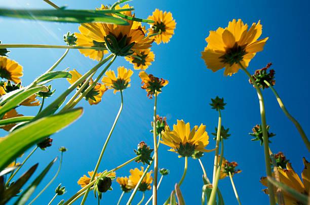 Low Angle View of Sunflowers:スマホ壁紙(壁紙.com)