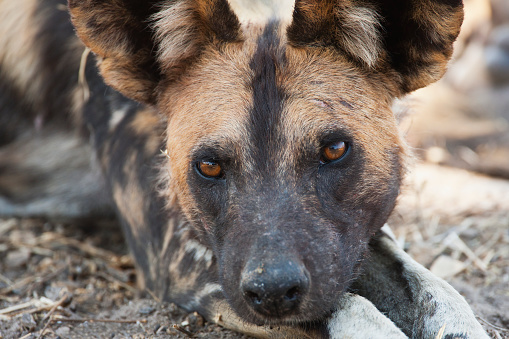 Pack Animal「A low angle view of an African wild dog face」:スマホ壁紙(9)