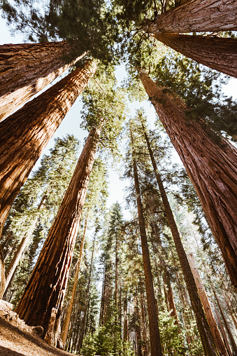 Giant Sequoia「low angle view of the giant sequoia」:スマホ壁紙(11)