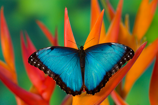 Heliconia「Tropical Butterfly Blue Morpho (Morpho granadensis) sitting on orange Heliconia flowers」:スマホ壁紙(19)