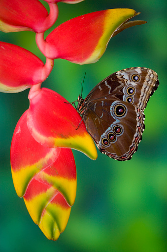 Heliconia「Tropical Butterfly Blue Morpho (Morpho granadensis) sitting on Heliconia tropical plant」:スマホ壁紙(13)