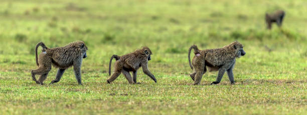 Olive baboons walking to the forest in Masai Mara.:スマホ壁紙(壁紙.com)