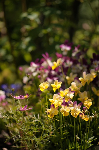 コスモス「Viola Hip Hop Flowers and Cosmos」:スマホ壁紙(3)