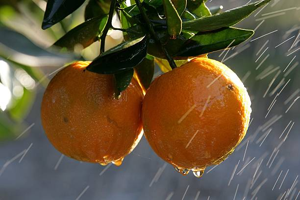 Cold Snap Endangers California Citrus Crop:ニュース(壁紙.com)