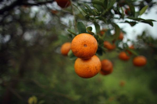 Orange - Fruit「Citrus Greening Diseases Threatens Florida's Orange Industry」:写真・画像(0)[壁紙.com]