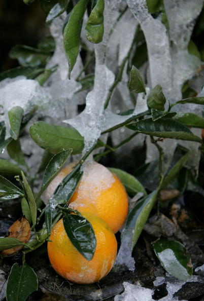 Orange - Fruit「Cold Snap Endangers California Citrus Crop」:写真・画像(14)[壁紙.com]