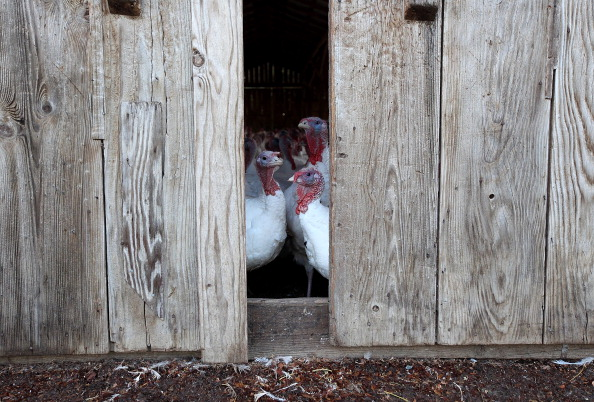 Peeking「Turkeys Roam On California Farm Ahead Of The Holiday Season」:写真・画像(4)[壁紙.com]