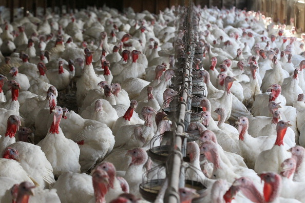 Turkey - Bird「Turkeys Roam On California Farm Ahead Of The Holiday Season」:写真・画像(17)[壁紙.com]