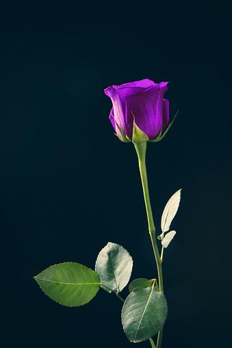Rose「長い茎の紫色のローズ」:スマホ壁紙(3)