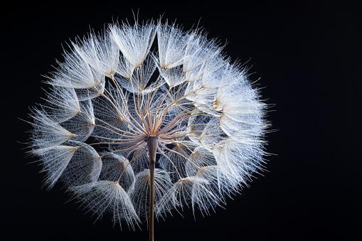 Beauty In Nature「Dandelion」:スマホ壁紙(3)